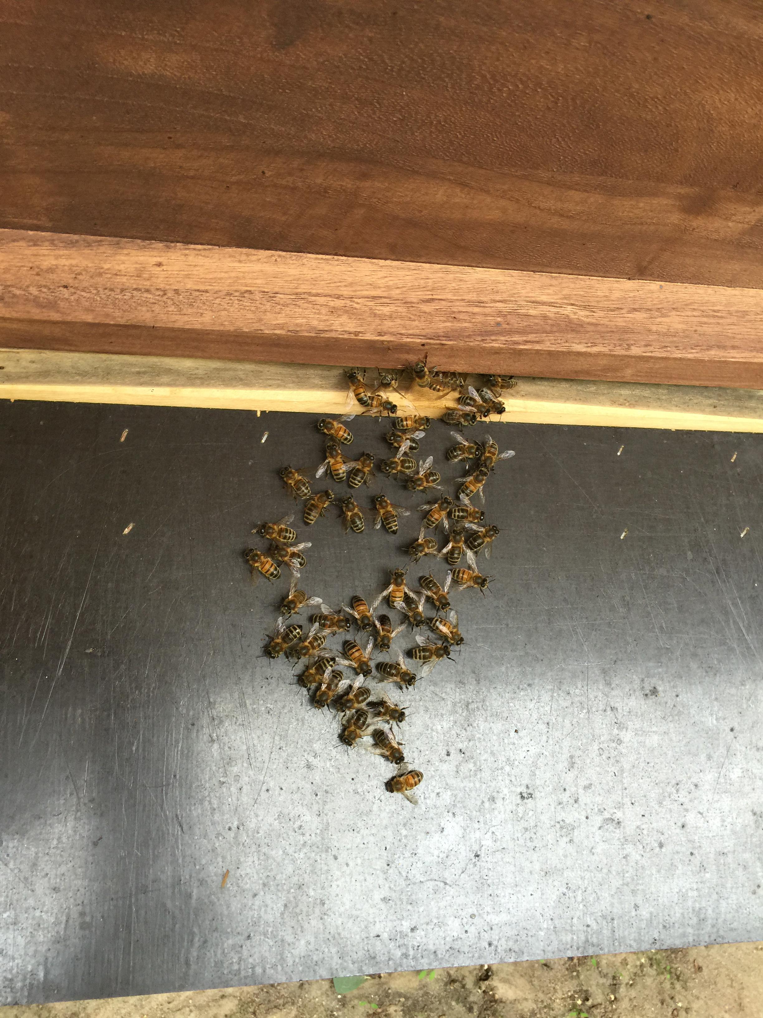 frage bzgl bienen vor dem flugloch imkerforum nordbiene seit 2007. Black Bedroom Furniture Sets. Home Design Ideas